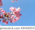 Flower of full bloom Inagekaigan Station in front of Kawara-zakura 49446054