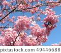 Flower of full bloom Inagekaigan Station in front of Kawara-zakura 49446688