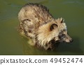 Wolf in the pond 49452474