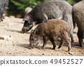 Wild pigs in the summer forest 49452527