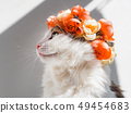 Beautiful Calico Cat with a wreath on his head. Cute kitty in a flowers diadem on her head sits in 49454683