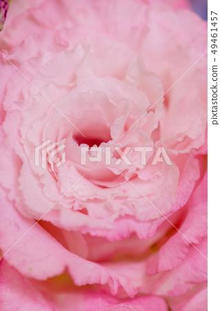 被切開的花的桃紅色綠松石花,土耳其風鈴草,桃紅色康乃馨,禮物,母親節,花束 49461457