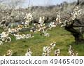 Shinshu Nagano Prefecture Nagano City Shinshu Shincho Rokko Plum Garden Plum blossoms 49465409