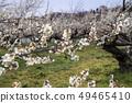 Shinshu Nagano Prefecture Nagano City Shinshu Shincho Rokko Plum Garden Plum blossoms 49465410
