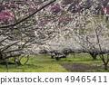 Shinshu Nagano Prefecture Nagano City Shinshu Shincho Rokko Plum Garden Plum blossoms 49465411