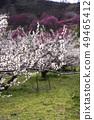 Shinshu Nagano Prefecture Nagano City Shinshu Shincho Rokko Plum Garden Plum blossoms 49465412