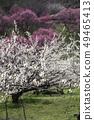 Shinshu Nagano Prefecture Nagano City Shinshu Shincho Rokko Plum Garden Plum blossoms 49465413
