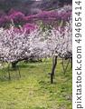 Shinshu Nagano Prefecture Nagano City Shinshu Shincho Rokko Plum Garden Plum blossoms 49465414