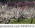Shinshu Nagano Prefecture Nagano City Shinshu Shincho Rokko Plum Garden Plum blossoms 49465415