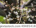 Shinshu Nagano Prefecture Nagano City Shinshu Shincho Rokko Plum Garden Plum blossoms 49465418