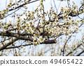 Shinshu Nagano Prefecture Nagano City Shinshu Shincho Rokko Plum Garden Plum blossoms 49465422