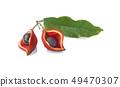 chestnut fruit (Sterculia monosperma) with leaf 49470307