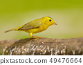Yellow warbler, Belize. Tanager in the nature 49476664
