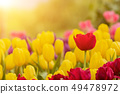Tulips flower blooming blossom with the bright 49478972