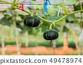 Japanese pumpkins growing in organic vegetable 49478974