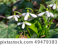 White spring flowers snowdrops 49479383