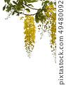 Golden shower flower,cassia  fistula isolate on 49480092