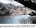 공원의 연못과 벚꽃 49483197