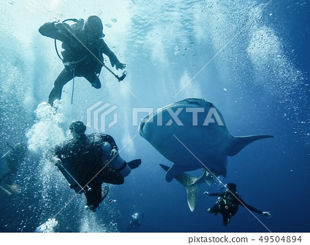 Giant whaleshark with divers 49504894