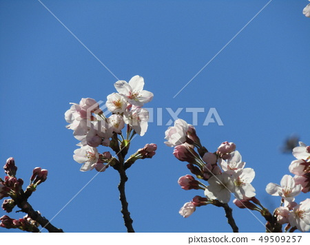 White cherry blossoms and pink buds of Somei Yoshino 49509257