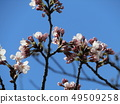 White cherry blossoms and pink buds of Somei Yoshino 49509258