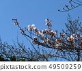 Somei Yoshino的白色櫻花和粉紅色的花蕾 49509259