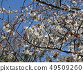 White cherry blossoms and pink buds of Somei Yoshino 49509260