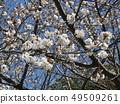Somei Yoshino的白色櫻花和粉紅色的花蕾 49509261