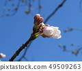 White cherry blossoms and pink buds of Somei Yoshino 49509263