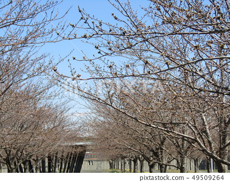 White cherry blossoms and pink buds of Somei Yoshino 49509264