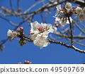 White cherry blossoms and pink buds of Somei Yoshino 49509769