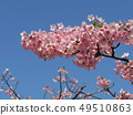 Flowers of a cowardly cherry tree in front of Inage Coastal Station in full bloom 49510863