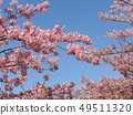 Flowers of a cowardly cherry tree in front of Inage Coastal Station in full bloom 49511320
