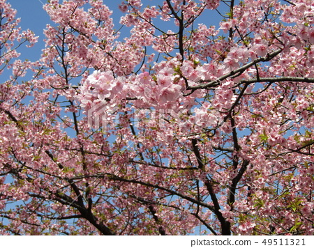 Flowers of a cowardly cherry tree in front of Inage Coastal Station in full bloom 49511321