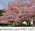 Flowers of a cowardly cherry tree in front of Inage Coastal Station in full bloom 49511323
