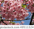 Flowers of a cowardly cherry tree in front of Inage Coastal Station in full bloom 49511324