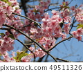 Flowers of a cowardly cherry tree in front of Inage Coastal Station in full bloom 49511326