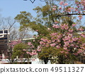 Flowers of a cowardly cherry tree in front of Inage Coastal Station in full bloom 49511327