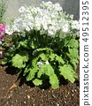 White flowers of a full bloom of primroses 49512395