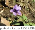 Purple flower violet blooming in spring field 49512396