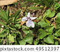 White flower violet blooming in the spring field 49512397