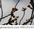 ดอกซากุระสีขาวของโอชิมะ 49514145