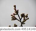 ดอกซากุระสีขาวของโอชิมะ 49514149