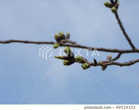 ต้นไม้ดอกซากุระที่เปิดออกและดอกไม้เข้าด้วยกัน 49514152