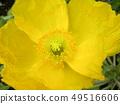 大罂粟黄色花 49516606
