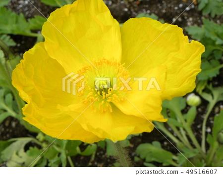 大罂粟黄色花 49516607