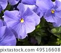 三色堇蓝色的花朵 49516608