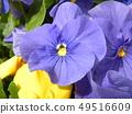 三色堇蓝色的花朵 49516609