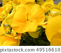 Yellow flower of pansy 49516610