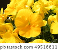 Yellow flower of pansy 49516611